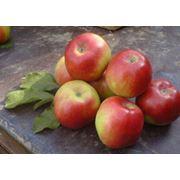 Яблоки сладкие из Молдовы фото
