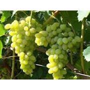 Виноградный концентрат фото