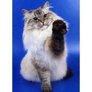 Коты невские маскарадные фото