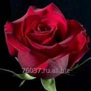 Роза rockefeller фото