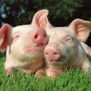 Свинина живым весом фото