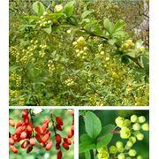 Berberis vulgaris Барбарис обыкновенный фото