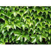 Девичий виноград триостренный или виноград плющевидный — Parthenocissus tricuspidata фото