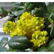 Магония падуболистная - Mahonia aguifolium фото