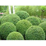 "Buxus sempervirens ""Rotundofolia"" фото"
