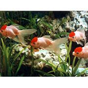 Рыбки аквариумные тропические фото