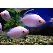 Рыбки аквариумные пресноводные фото