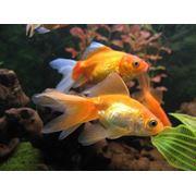 Золотые рыбки в Молдове фото