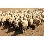 Шкура овечьяШерсть овечья фото