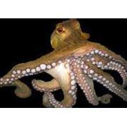 Деликатесы из осьминога фото