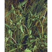 Трава череды фото
