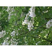 Акация цветки(white acatia) фото