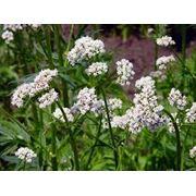 Лечебные травы фото