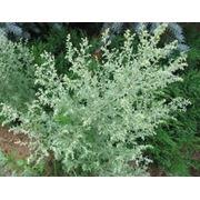 Полынь горькаятрава(Artemisia absinthium herba) фото