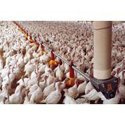Линия поения цыплят фото