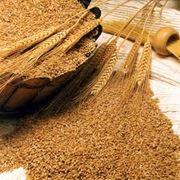 Переработка зерна - это измельчение злаков различных культур с целью получения муки крупы или хлопьев. Продукты переработки зерна пшеницы ржи кукурузы овса и других распространенных злаковых культур используются повсеместно в пищевой промышленности. фото