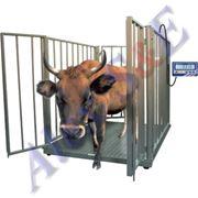 Весы электронные для взвешивания скота BX-2D13-2 фото