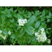 Ligustrum vulgare Бирючина обыкновенная фото
