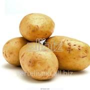Картофель Скарб фото