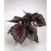Бегония блад Рекс -- Begonia blad Rex фото