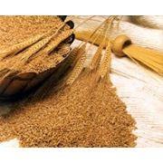Пшеница из Молдовы фото