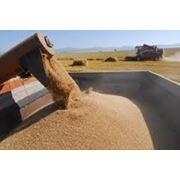 Культуры зерновые фото