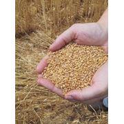 Пшеница 500 тон фото