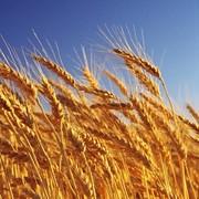 Семена Пшеницы озимой - ЭС фото