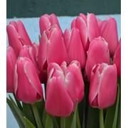 Тюльпан сорт Орленда фото