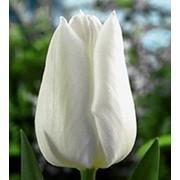 Срезанные тюльпаны к 8 марта фото