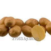 Картофель семенной 1 репродукции фото