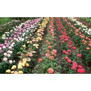 Кусты роз фото