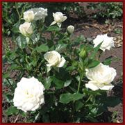миниатюрная роза фото