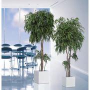 Стабилизированное дерево эвкалипта фото