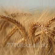 Зерно твердой пшеницы насыпью фото
