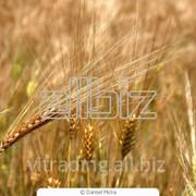 Купим Пшеницу фото