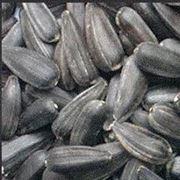 Калиброванная семечка подсолнечника фото