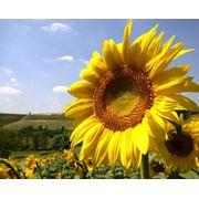 Ulei de floare soarelui фото