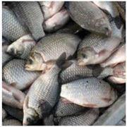 живая рыба фото