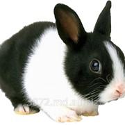 Кролики голландские фото