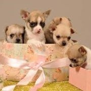 Собаки элитных пород фото