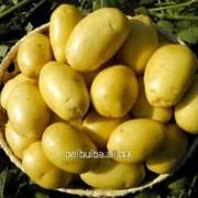 Картофель семенной Артемис 1рс фото