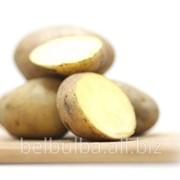 Картофель семенной Агата 2 репродукция фото
