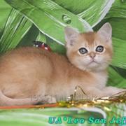 Котёнок британский короткошерстный, окрас золотой тиккированный фото