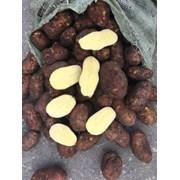 Картофель сорт Ред Скарлет, калибр 5+,  в наличии  фото