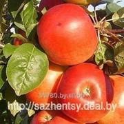 Яблоня Сябрина фото