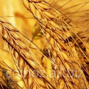 Пшеница мягкая в Молдове фото