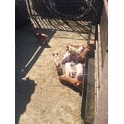 Мясо свинины домашнец фото