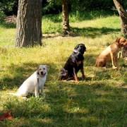 кинолог. Дрессировка собак  фото