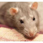 Отрава для крыс и мышей фото